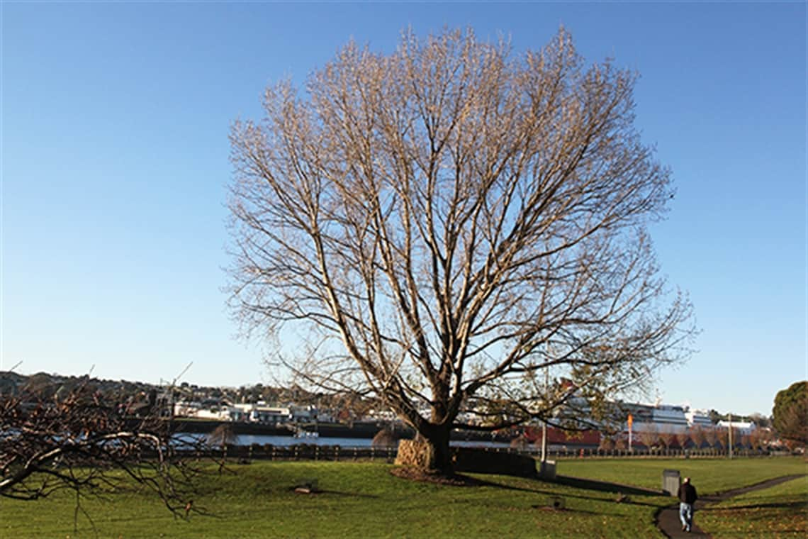 Mature trees in Roundhouse Park to remain