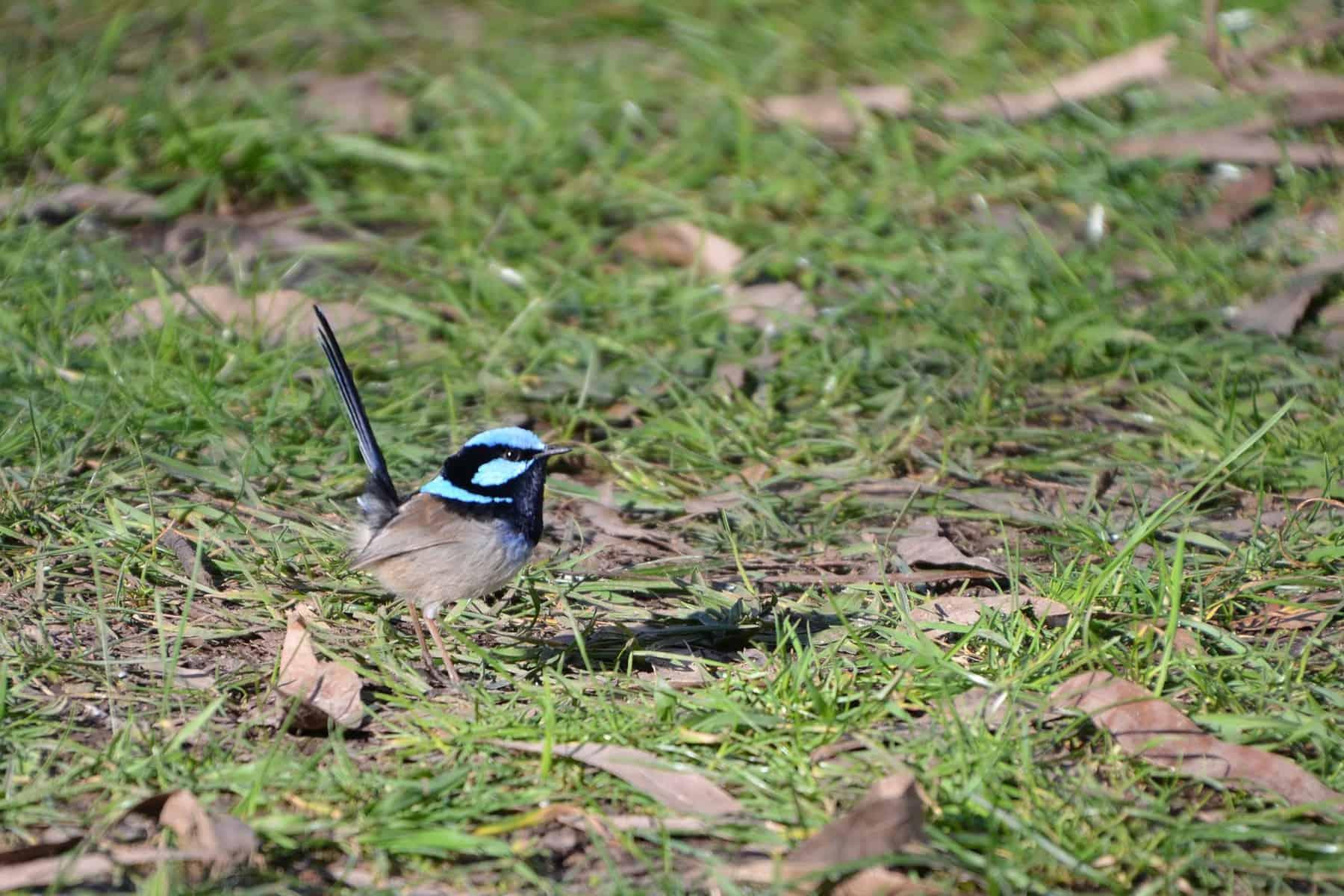 Blue wren 2409030 1920
